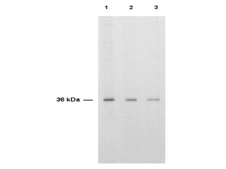 Anti-Thymidylate Synthase Antibody - Western Blot