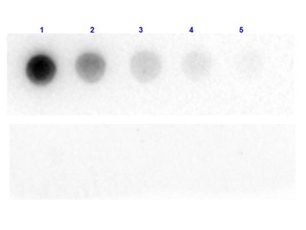 Dot Blot of Chicken Anti-Beta Galactosidase Antibody.