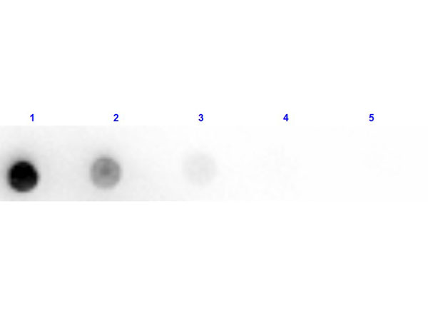Dot Blot of Anti-Horse IgM Antibody HRP Conjugated