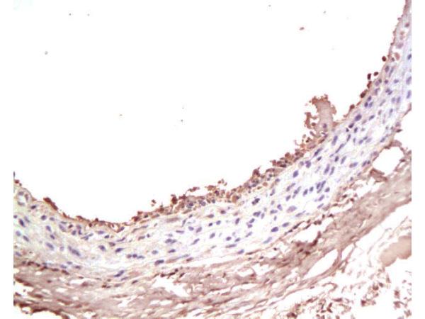 IHC-P of GRP356
