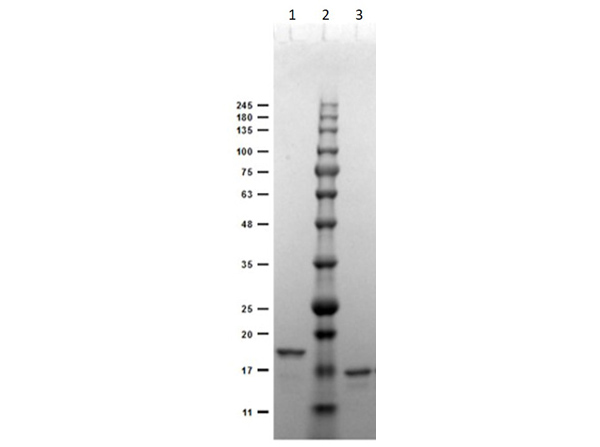 SDS-PAGE of Recombinant Anti-DIG (VHH) Single Domain Antibody