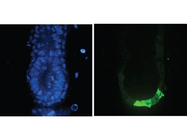 Immunofluorescence - Anti-GFP Antibody