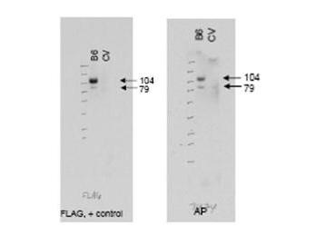 Anti-ABCB6 Antibody - Western Blot