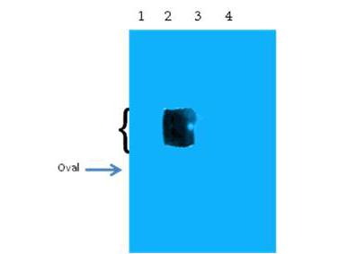 Anti-beta Amyloid pyro E11 Western Blot