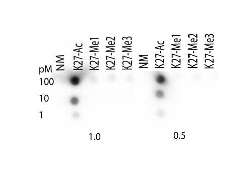 Histone-H3-K27ac Dot Blot