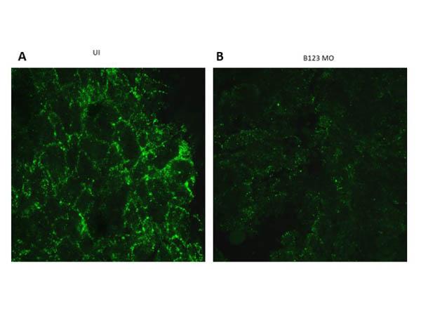 Immunofluorescence of Rabbit Anti-Ephrin B1/B3 Antibody