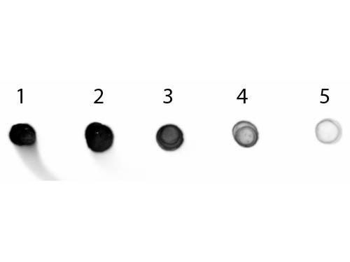 Dot Blot - Cat IgG Fc Antibody Alkaline Phosphatase Conjugated