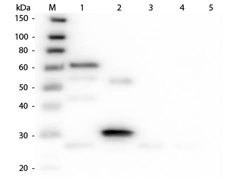 Western Blot of Anti-Chicken IgG (H&L) (DONKEY) Antibody (Min X Bv Gt GP Ham Hs Hu Ms Rb Rt & Sh Serum Proteins)