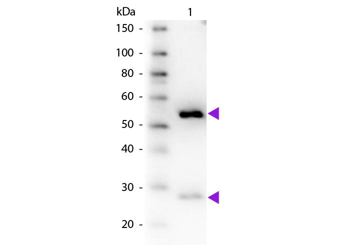 WB - Guinea Pig IgG (H&L) Antibody Biotin Conjugated Pre-Adsorbed