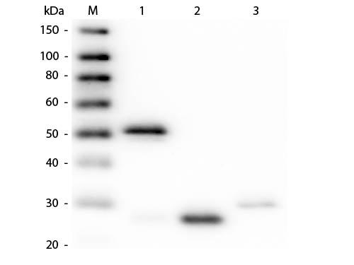 Western Blot of Anti-Rabbit IgG (H&L) (GUINEA PIG) Antibody (Min X Hu, Gt, Ms Serum Proteins)