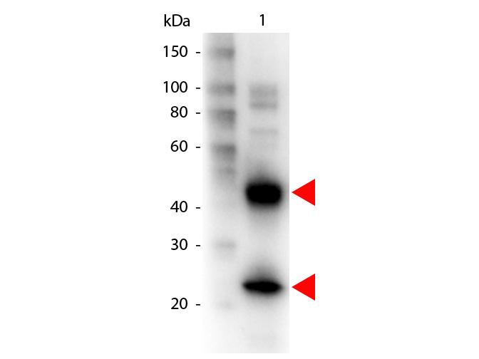 Armenian Hamster IgG (H&L) Antibody Biotin Conjugated - Western Blot