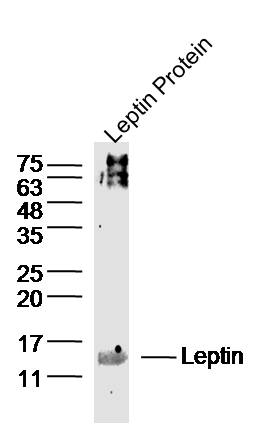 IHC-P of GRP235