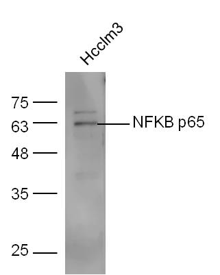 IHC-P of GRP244
