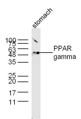 IHC-P of GRP259