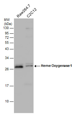 Various whole cell extracts (30 μg) were separated by 12% SDS-PAGE, and the membrane was blotted with Heme Oxygenase 1 antibody (GRP471) diluted at 1:1500. The HRP-conjugated anti-rabbit IgG antibody  was used to detect the primary antibody.
