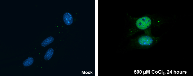 HIF1 alpha antibody detects HIF1 alpha protein at nucleus by immunofluorescent analysis.Sample: NIH/3T3 cells were fixed in 4% paraformaldehyde at RT for 15 min.Green: HIF1 alpha protein stained by HIF1 alpha antibody (GRP517) diluted at 1:200.Blue: Hoech