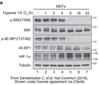 The WB analysis of HIF1 alpha antibody was published by Demetriades C and colleagues in the journal Nat Commun in 2016.PMID: 26868506