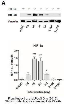 The WB analysis of HIF1 alpha antibody was published by Kudová J and colleagues in the journal PLoS One in 2016 .