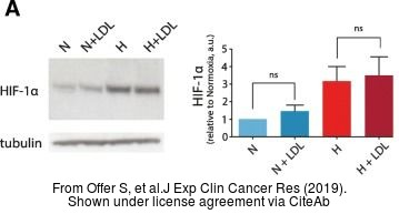 The WB analysis of HIF1 alpha antibody was published by Offer S and colleagues in the journal J Exp Clin Cancer Res in 2019 .