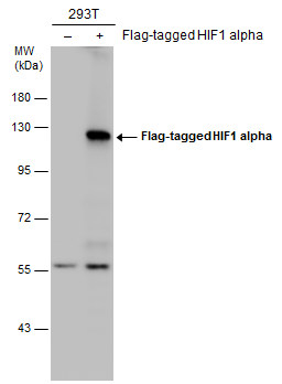 Non-transfected (–) and transfected (+) 293T whole cell extracts (30 μg) were separated by 7.5% SDS-PAGE, and the membrane was blotted with HIF1 alpha antibody (GRP517) diluted at 1:5000. The HRP-conjugated anti-rabbit IgG antibody  was used to detec