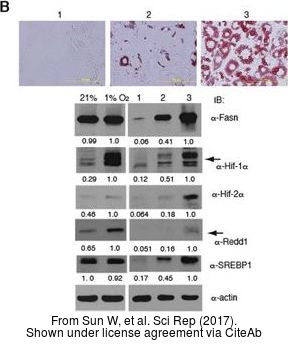 The WB, ICC/IF analysis of HIF1 alpha antibody was published by Sun W and colleagues in the journal Sci Rep in 2017.PMID: 28775317