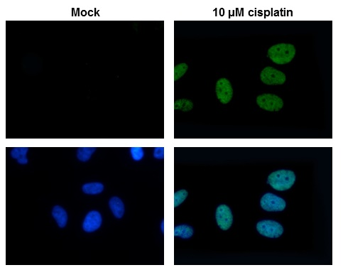Histone H2A.X antibody detects H2AFX protein at nuclear by immunofluorescent analysis. Sample: 10?M Cisplatin treated (right) or untreated (left) HeLa cells were fixed in 4% paraformaldehyde for 15 min. Green: H2AFX protein stained by Histone H2A.Xantibod