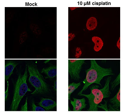 Histone H2A.X (phospho Ser139) antibody detects H2AFX protein at nuclear by confocal immunofluorescent analysis. Sample: 10?M Cisplatin treated (right) or untreated (left) HeLa cells were fixed in 4% paraformaldehyde for 15 min. Red: H2A.X protein stained