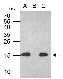 Histone H2A.X (phospho S139) antibody immunoprecipitates histone H2A.X (phospho S139) protein in IP experiments. IP Sample: 500 ?g HCT116 with CPT 30 ?M treatment 24 hr whole cell lysate/extract A. 30 ?g HCT116 whole with CPT 30 uM treatment cell lysate/e