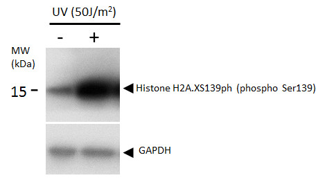 Histone H2A.XS139ph (phospho Ser139) antibody detects Histone H2A.XS139ph (phospho Ser139) protein by western blot analysis. Un-treated (-) and treated (+, 50 J/m2 UV treatment) U2OS whole cell extracts (16 μg) were separated by 12%-15% SDS-PAGE, and t