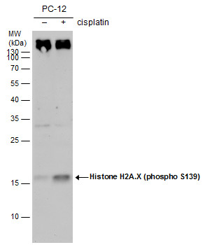 Histone H2A.X (phospho S139) antibody [GT2311] detects Histone H2A.X (phospho S139) [GT2311] protein by western blot analysis. Un-treated (-) and treated (+, 30 μM Cisplatin treatment for 24 hrs) PC-12 whole cell extracts (30 μg) were separated by 1