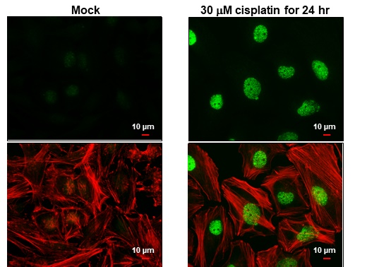 Histone H2A.XS139ph (phospho Ser139) antibody detects Histone H2A.XS139ph (phospho Ser139) protein at nucleus by immunofluorescent analysis.Sample: HeLa cells were fixed in 4% paraformaldehyde at RT for 15 min.Green: Histone H2A.XS139ph (phospho Ser139) s