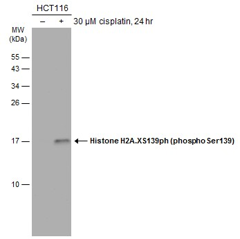 Untreated (–) and treated (+) HCT-116 whole cell extract (30 μg) were separated by 15% SDS-PAGE, and the membrane was blotted with Histone H2A.XS139ph (phospho Ser139) antibody (GRP519) diluted at 1:1000. The HRP-conjugated anti-rabbit IgG antibody
