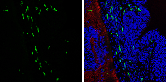 Iba1 antibody detects Iba1 protein expression at microglias by immunohistochemical analysis.Sample: Frozen sectioned E13.5 Rat brain. Green: Iba1 protein stained by Iba1 antibody (GRP545) diluted at 1:250.Red: beta Tubulin 3/ TUJ1, a mature neuron marker,