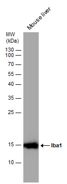 Mouse tissue extract (50 μg) was separated by 15% SDS-PAGE, and the membrane was blotted with Iba1 antibody (GRP545) diluted at 1:1000.