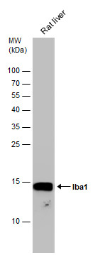 Rat tissue extract (50 μg) was separated by 15% SDS-PAGE, and the membrane was blotted with Iba1 antibody (GRP545) diluted at 1:1000.