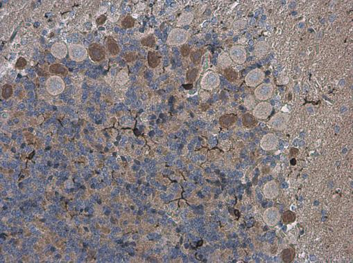 Iba1 antibody detects Iba1 protein at microglia in rat brain by immunohistochemical analysis. Sample: Paraffin-embedded rat brain. Iba1 antibody (GRP556) diluted at 1:500.
