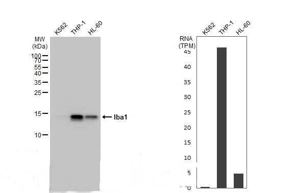 Various whole cell extracts (30 μg) were separated by 15% SDS-PAGE, and the membrane was blotted with Iba1 antibody (GRP556) diluted at 1:5000. The HRP-conjugated anti-rabbit IgG antibody  was used to detect the primary antibody.Corresponding RNA expre