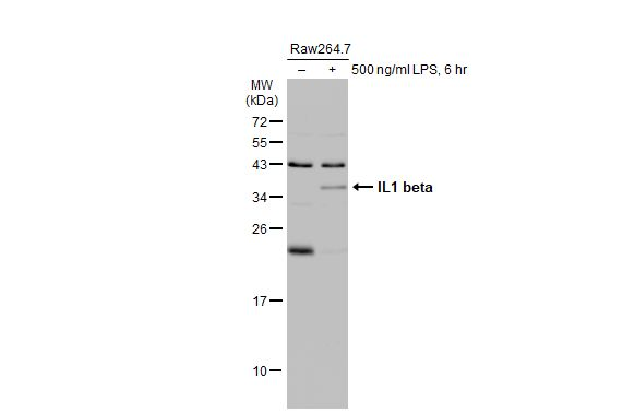 Untreated (–) and treated (+) Raw264.7 whole cell extracts (30 μg) were separated by 12% SDS-PAGE, and the membrane was blotted with IL1 beta antibody (GRP629) diluted at 1:1000. The HRP-conjugated anti-rabbit IgG antibody  was used to detect the pri