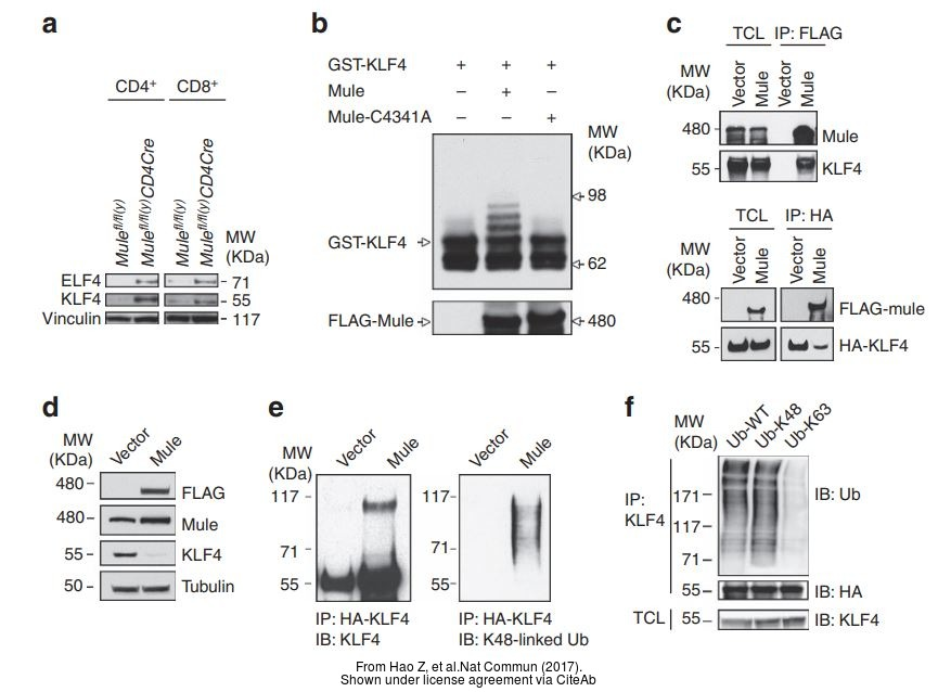 The WB analysis of KLF4 antibody was published by Hao Z and colleagues in the journal Nat Commun in 2017 .