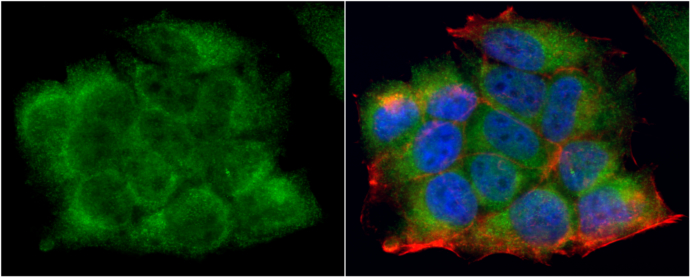 LDHA antibody detects LDHA protein at cytoplasm by immunofluorescent analysis.Sample: MCF7 cells were fixed in 4% paraformaldehyde at RT for 15 min.Green: LDHA protein stained by LDHA antibody (GRP473) diluted at ) diluted at 1:200.Blue: Hoechst 33342 sta