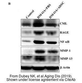 The WB analysis of MMP1 antibody was published by Dubey NK and colleagues in the journal Aging Dis in 2019 .