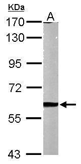 Sample (50 μg of whole cell lysate)  A: Mouse brain  7.5% SDS PAGE  GRP486 diluted at 1:1000 The HRP-conjugated anti-rabbit IgG antibody  was used to detect the primary antibody.