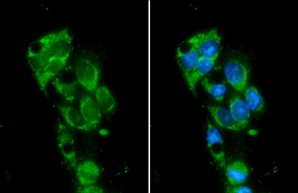 Monoamine Oxidase B antibody [N2C3] detects Monoamine Oxidase B protein at mitochondria by immunofluorescent analysis.Sample: HepG2 cells were fixed in ice-cold MeOH for 5 min.Green: Monoamine Oxidase B stained by Monoamine Oxidase B antibody [N2C3] (GRP5