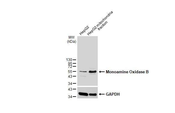 HepG2 and mitochondria extracts (30 μg) were separated by SDS-PAGE, and the membrane was blotted with Monoamine Oxidase B antibody [N2C3] (GRP570) diluted at 1:1000. The HRP-conjugated anti-rabbit IgG antibody  was used to detect the primary antibody.