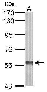 Sample (50 μg of whole cell lysate)  A: Mouse liver  7.5% SDS PAGE  GRP570 diluted at 1:1000 The HRP-conjugated anti-rabbit IgG antibody  was used to detect the primary antibody.