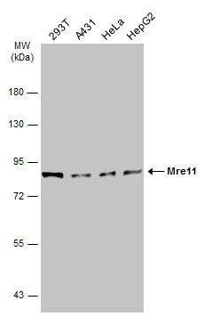 Various whole cell extracts (30 μg) were separated by 7.5% SDS-PAGE, and the membrane was blotted with Mre11 antibody [12D7] (GRP540) diluted at 1:1000. The HRP-conjugated anti-mouse IgG antibody  was used to detect the primary antibody.
