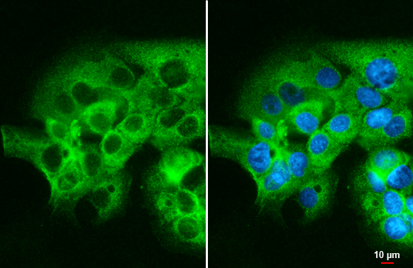 mTOR antibody [C3], C-term detects mTOR protein at cytoplasm by immunofluorescent analysis.Sample: MCF-7 cells were fixed in ice-cold MeOH for 5 min.Green: mTOR stained by mTOR antibody [C3], C-term (GRP476) diluted at 1:2000.Blue: Hoechst 33342 staining.