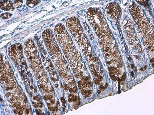 MUC2 antibody [C3], C-term detects secreted MUC2 protein by immunohistochemical analysis.Sample: Paraffin-embedded mouse colon.MUC2 stained by MUC2 antibody [C3], C-term (GRP466) diluted at 1:2000.