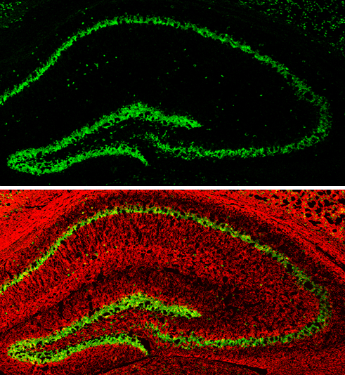 NeuN antibody detects NeuN protein expression by immunohistochemical analysis.Sample: Frozen-sectioned adult mouse hippocampus. Green: NeuN protein stained by NeuN antibody (GRP620) diluted at 1:250.Red: alpha Tubulin, stained by alpha Tubulin antibody [G