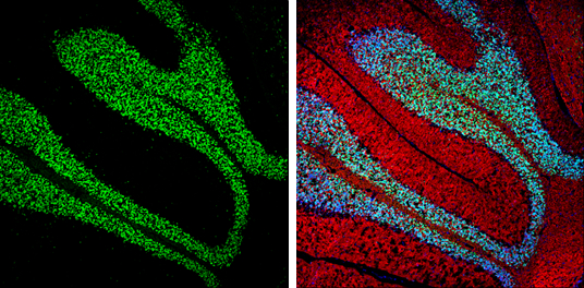 NeuN antibody detects NeuN protein expression by immunohistochemical analysis.Sample: Frozen-sectioned adult mouse cerebellum. Green: NeuN protein stained by NeuN antibody (GRP620) diluted at 1:250.Red: beta Tubulin 3/ TUJ1, stained by beta Tubulin 3/ TUJ